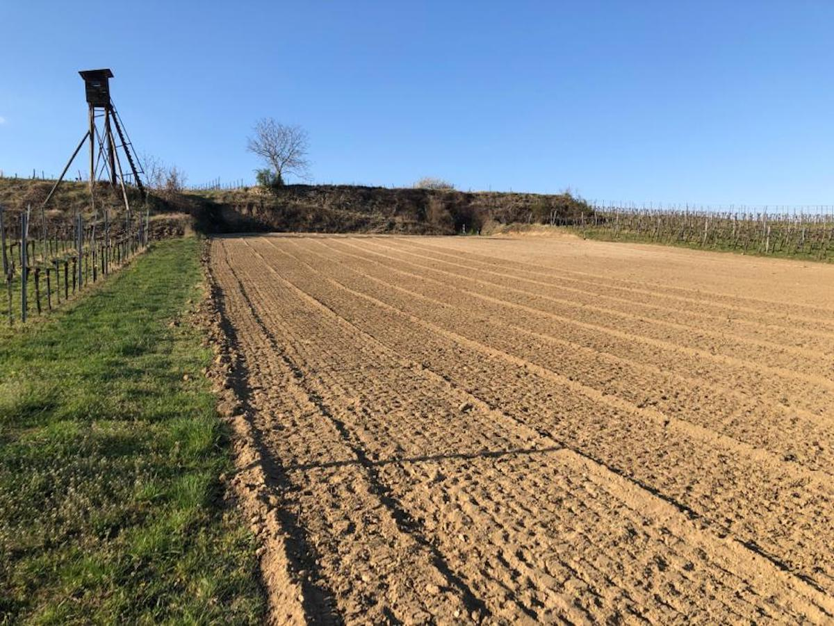 Ein neuer Veltliner-Weingarten